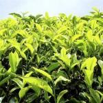 Цейлонский чай, зеленый и черный цейлонский чай