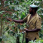 Сбор кофейных ягод
