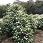 Возделывание кофейного дерева