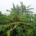 Кофе растёт и на Урале