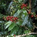 Планета кофе: Колумбия