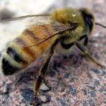 Пчелы приносят кофе кайф