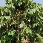Нелегальный кофе Суматры