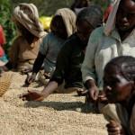 Экспорт кофе Эфиопии достиг 528 млн. долларов