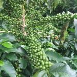 Экспорт кофе в Бразилии