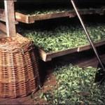 Использование чая в медицине, химической и пищевой промышленности
