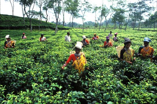 tea industry in bangladesh