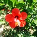 Роза из Судана, или все о каркаде