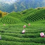 Зеленый чай: панацея или яд?