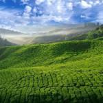 Зеленый чай поможет прожить 120 лет?