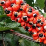 Чай с гуараной — неиссякаемый источник энергии