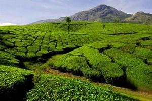 Чай подешевел в всем мире, но только не в Армении
